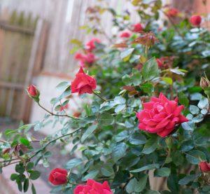 Trồng hoa hồng bằng đất Orgamix có được không?