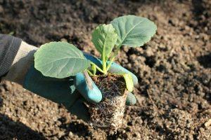 Cách trồng bắp cải chịu nhiệt ở Sài Gòn và chăm sóc đúng cách