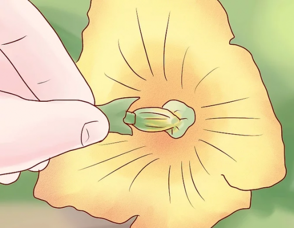 Thụ phấn cho bí ngòi